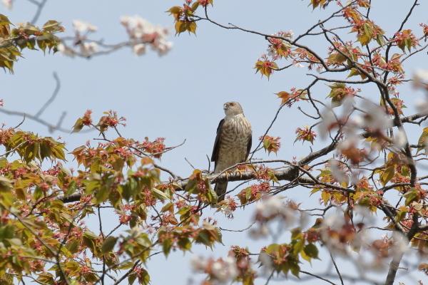 2S7A5776ツミ若鳥b.JPG